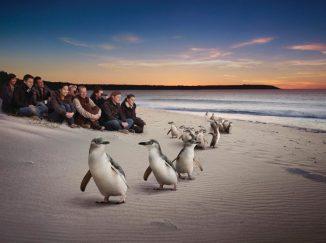 Chim cánh cụt đảo Phillip