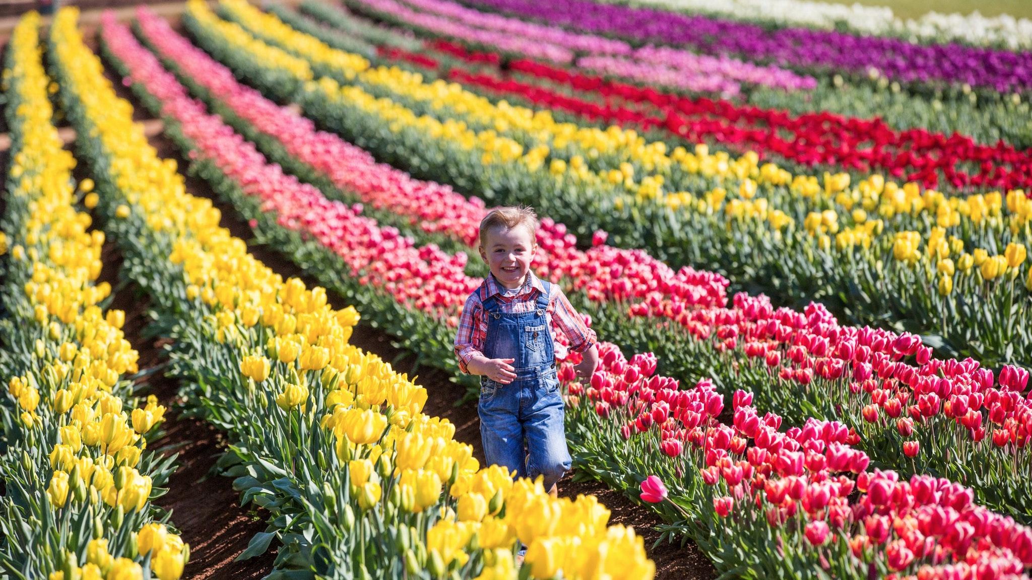 Kết quả hình ảnh cho lễ hội hoa tulip ở úc